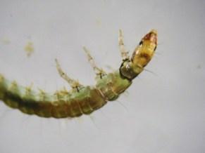 Sandfly Caddis Larvae type 2
