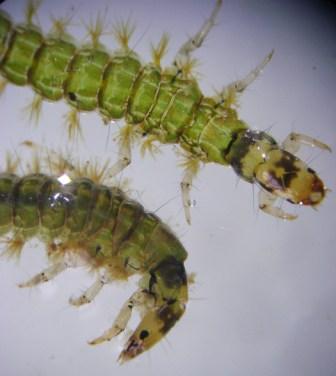 Sandfly Caddis Larvae type1