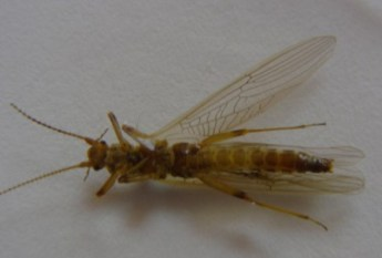 Willow Fly Adult