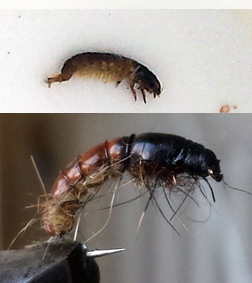 Rhyacophila
